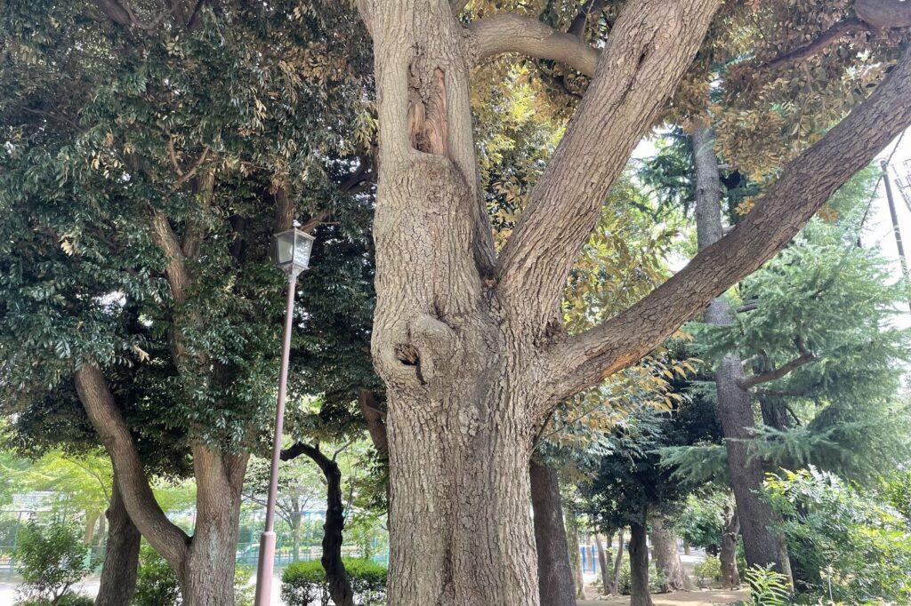 クスノキは公園や街路樹として見かけることが最も多い木の一つです。