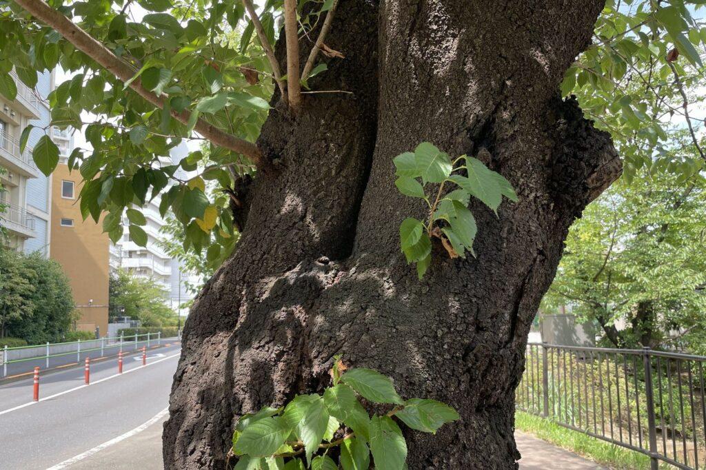 さくらは言わずと知れた日本の国の木です。